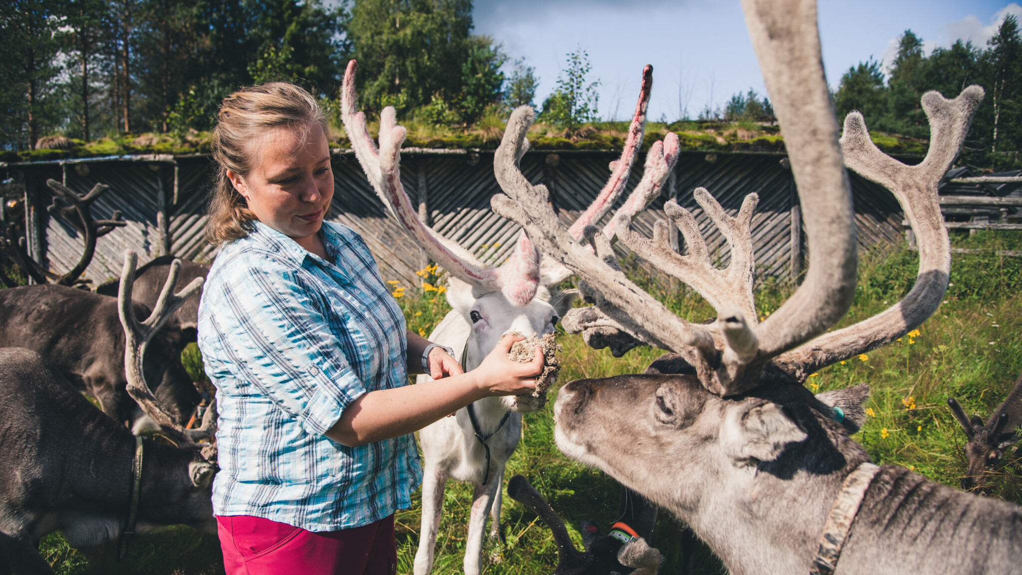 Year of Reindeer Sustainable Rovaniemi blog series Miia Merkku Arctic Reindeer Farm