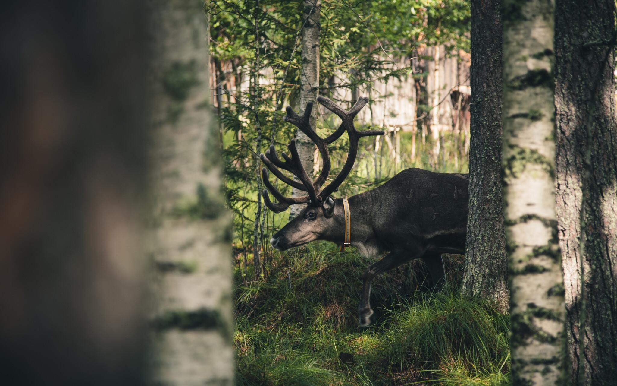 Sustainable Rovaniemi blog series Miia Merkku Year of Reindeer Arctic Reindeer