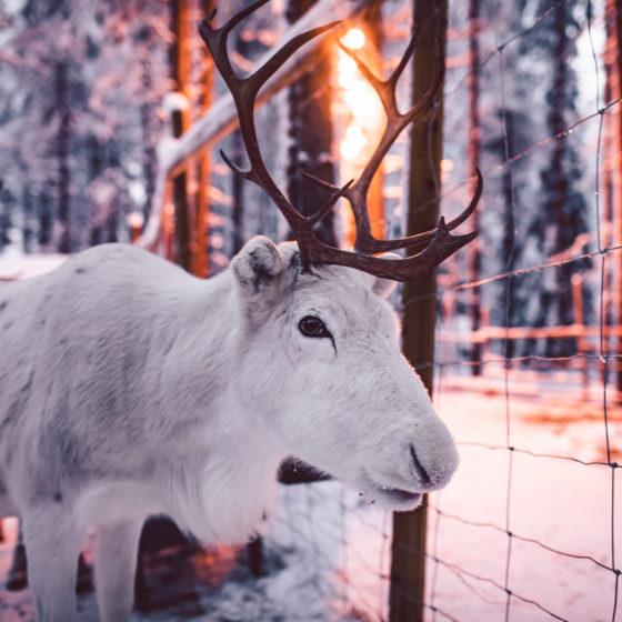 Reindeer in Elfs Farm Yard in Santa Claus Village, Rovaniemi, Lapland, Finland