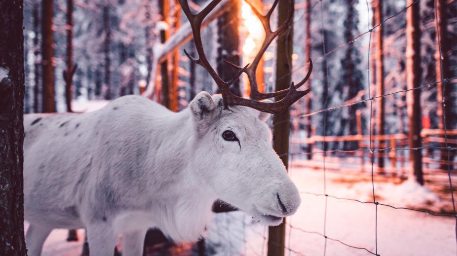 Reindeer Snow white