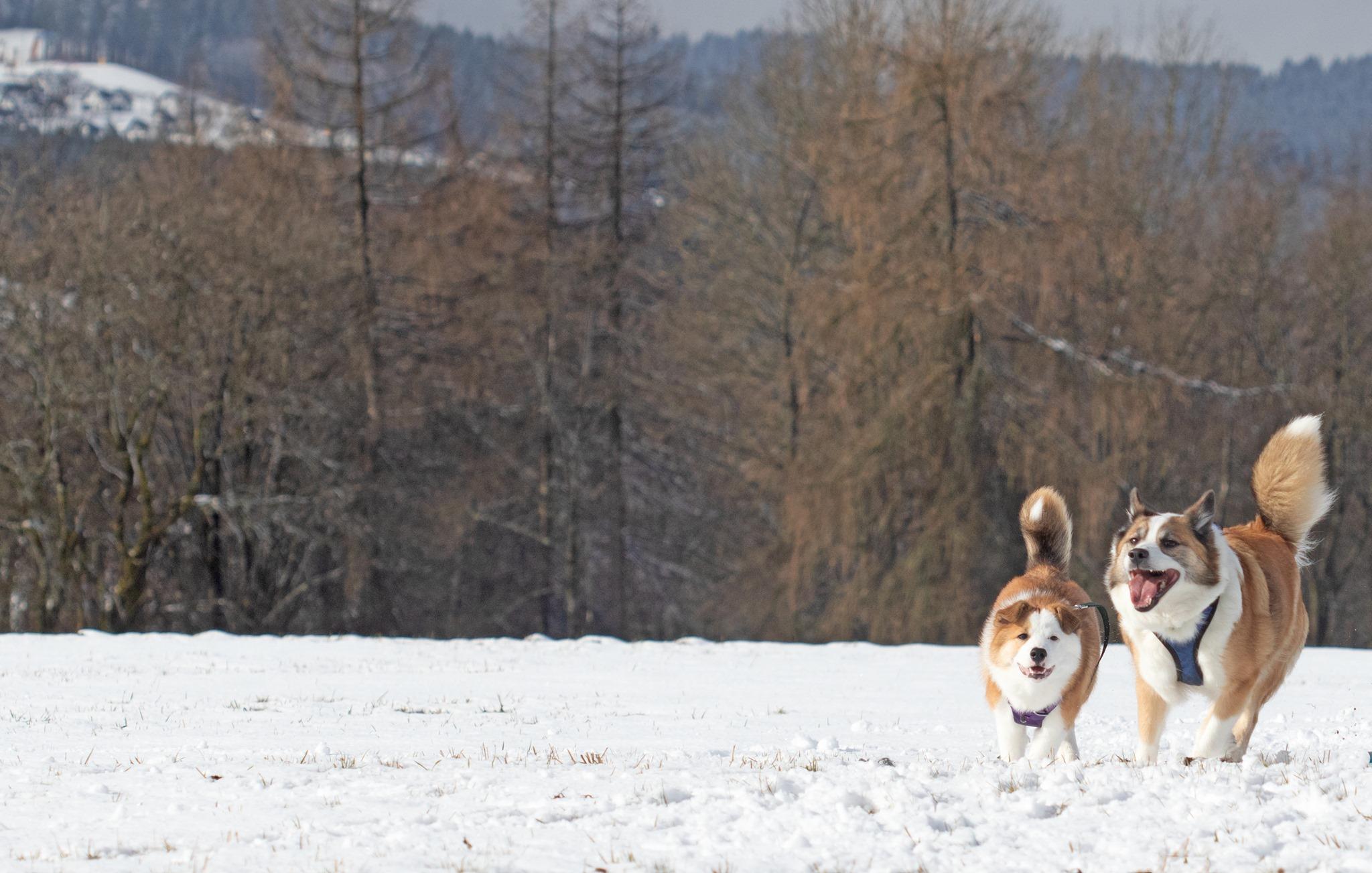 Anni Lundi's dogs in Lapland Finland