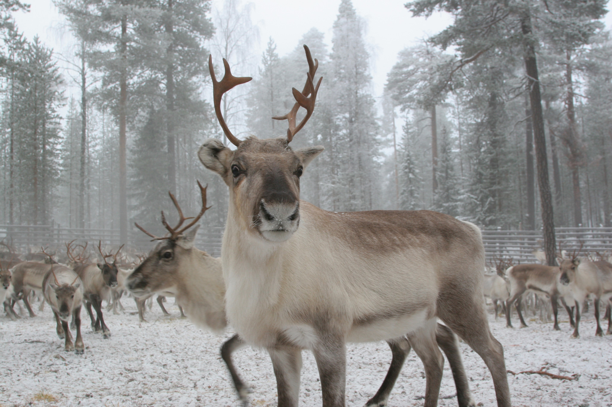 Reindeer with Arctic Lifestyle in Rovaniemi, Lapland, Finland