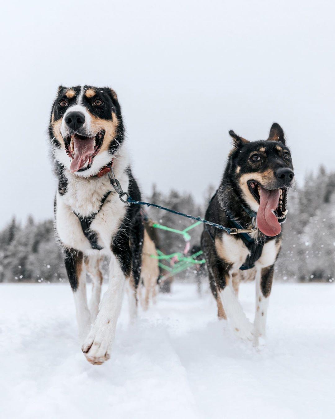 Bearhill Husky Dogs Running Rovaniemi Lapland Finland