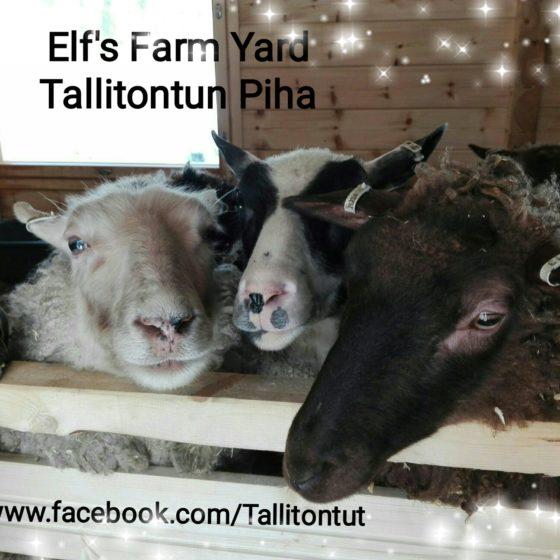 Sheep at Elfs Farm Yard in Rovaniemi, Lapland, Finland