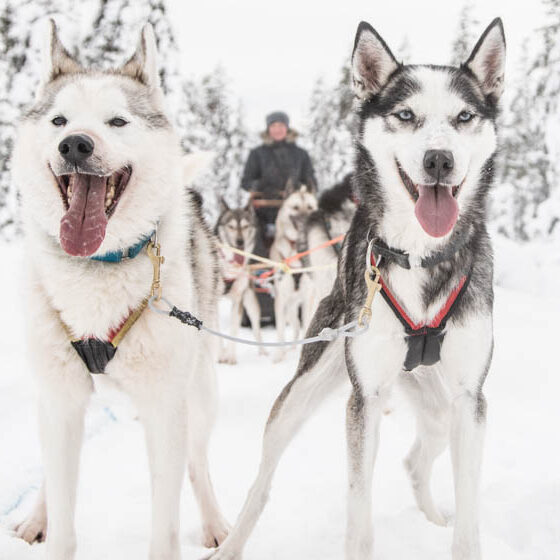 Huskies with Husky and Yoga Nature in Rovaniemi, Lapland, Finland