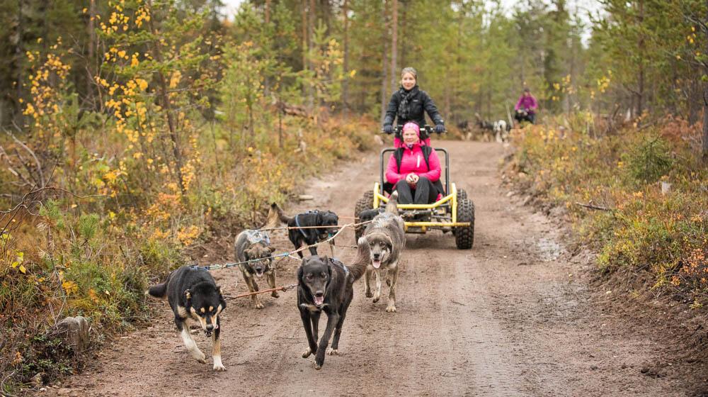 Husky autumn ride with Bearhillhusky in Rovaniemi, Lapland, Finland