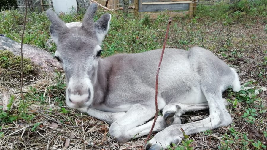 Reindeer Valkko
