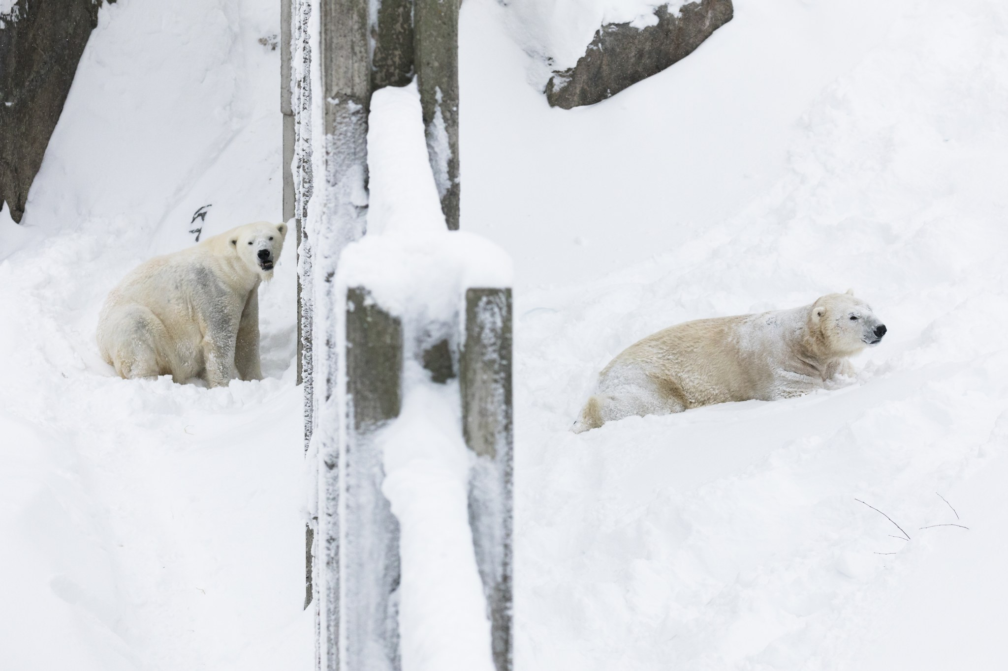 New Polarbear Nord in Ranua Zoo, Lapland, Finland. Photo Marko Junttila