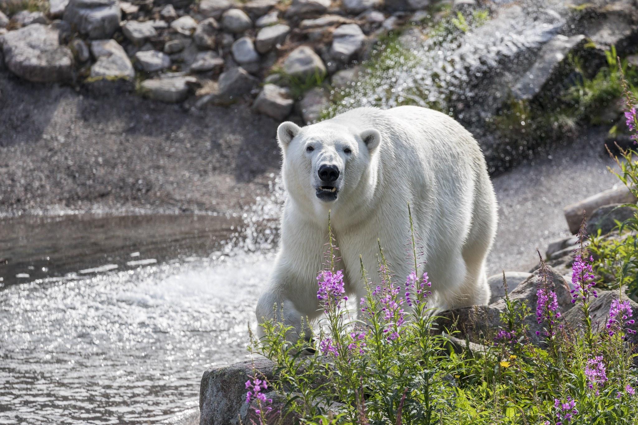Polar Bear summer Ranua Lapland Finland Visit Rovaniemi and Ranua Wildlife Park