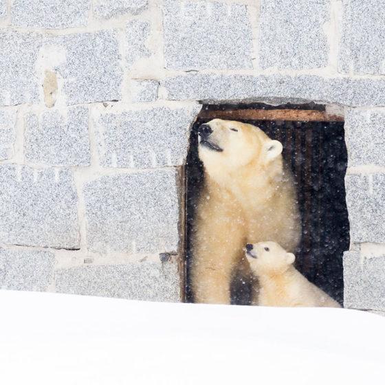 Polar bear cub in Ranua Zoo near Rovaniemi, in Lapland, Finland