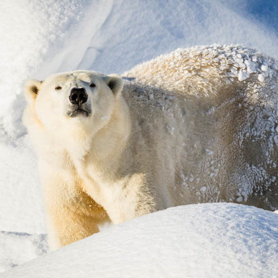 Polarbear in Ranua Wildlife Park, Lapland, Finland