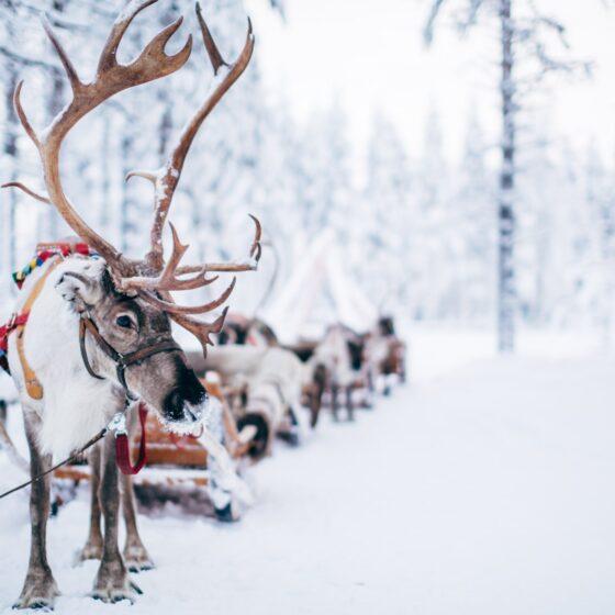 Reindeer sleigh ride at Santa Claus Reindeer in Rovaniemi Lapland Finland