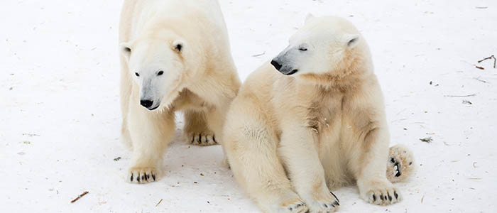 Visit Ranua, see Polar bears in Northern Finland