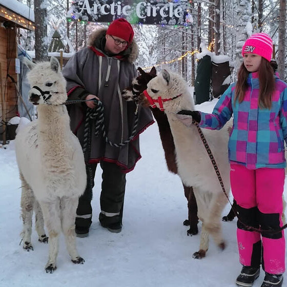 Walk with alpacas in Elfs Farmyard, Arctic Circle, Rovaniemi, Lapland, Finland