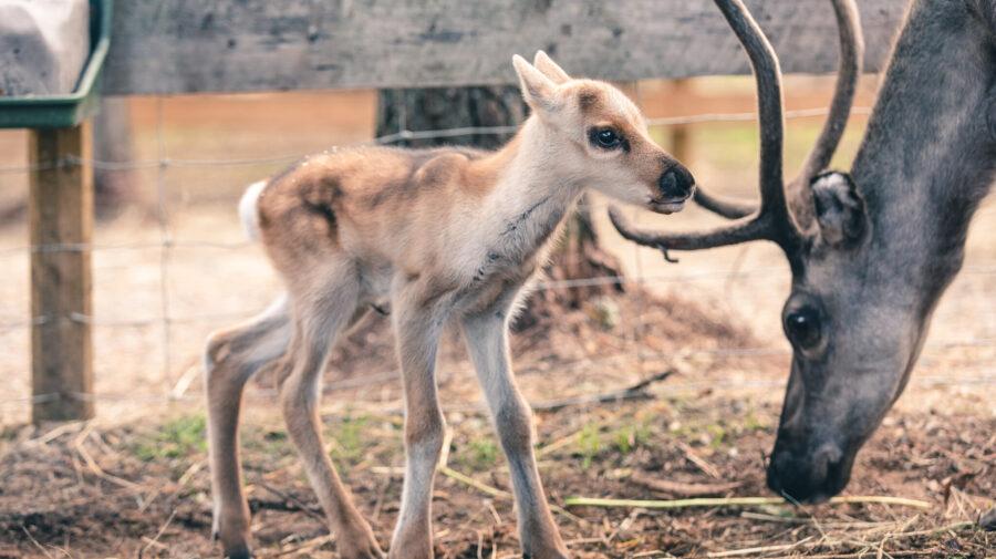Baby reindeer Sisu and mother Hilima