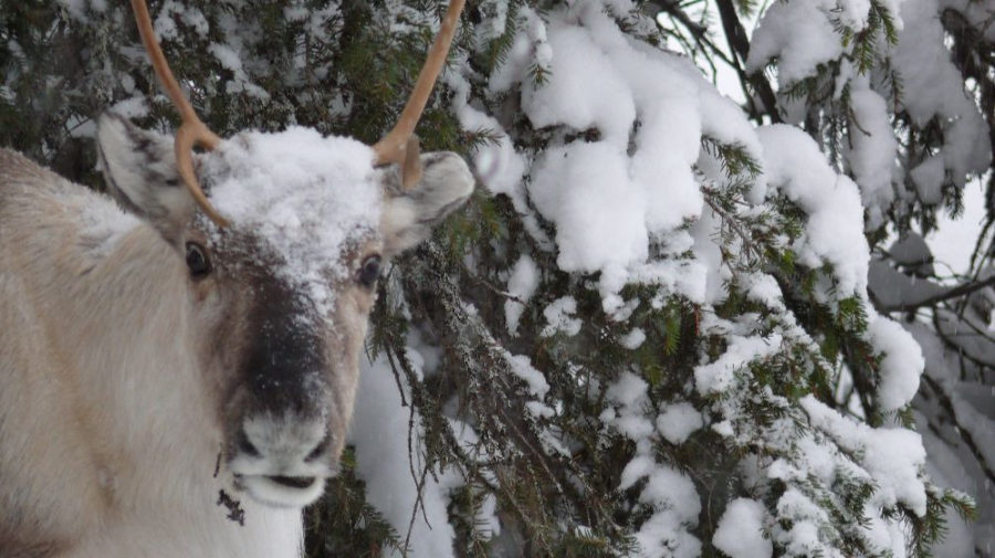 All day reindeer adventure with lapland welcome visit rovaniemi reindeer are semi wild animals solutioingenieria Gallery