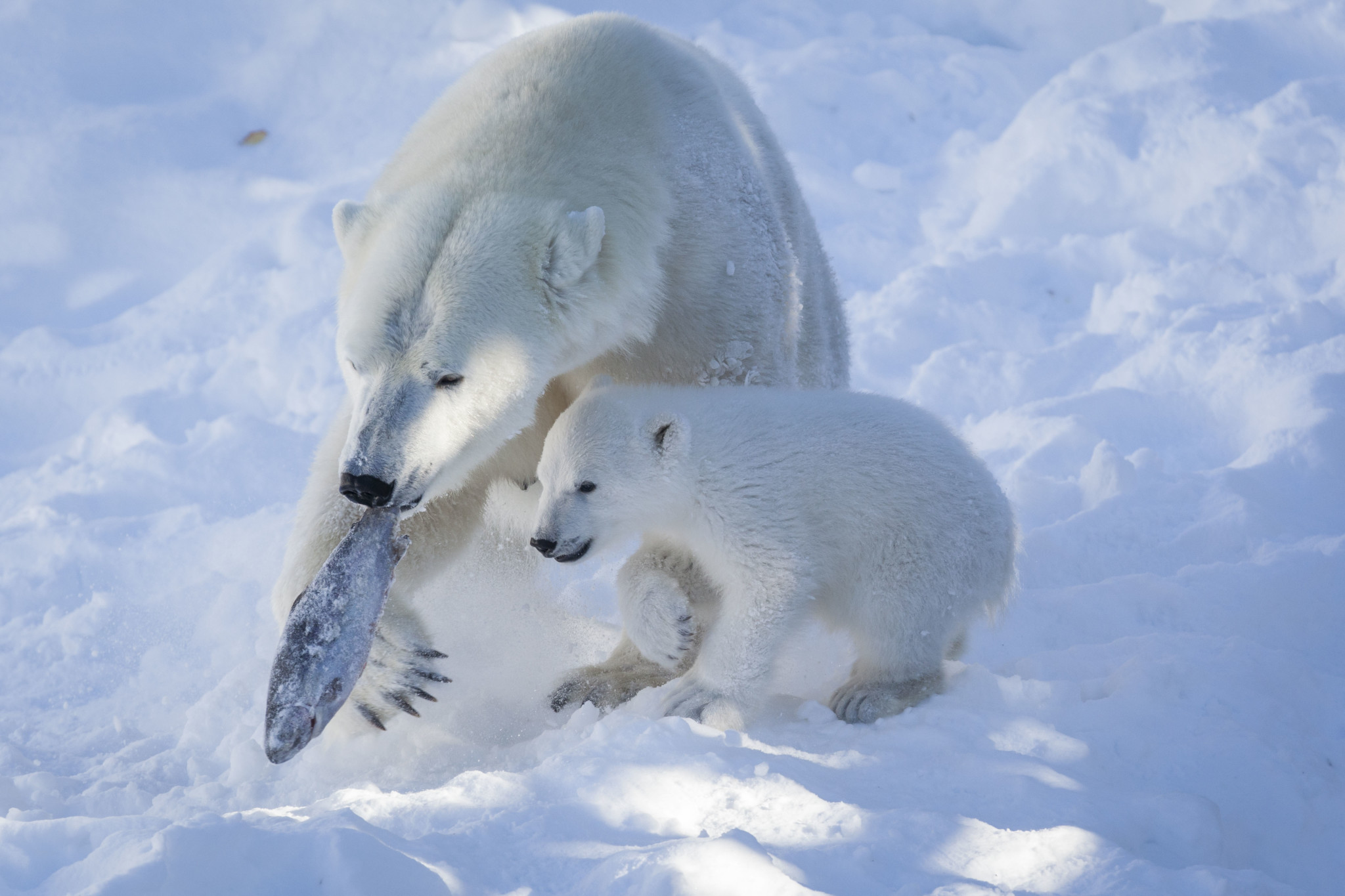 Polar Bears, Ranua Wildlife Zoo