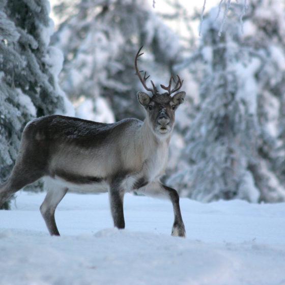Reindeer at Sieriporo Safaris, Rovaniemi, Lapland, Finland