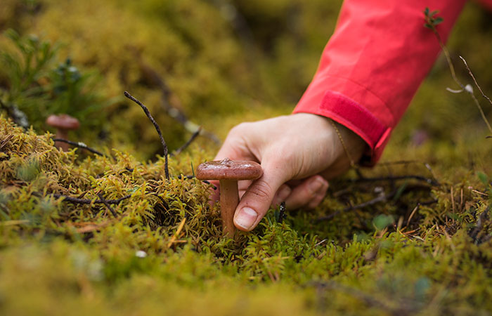 Picking mushrooms in autumn in Rovaniemi, the Official Hometown of Santa Claus