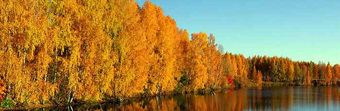 Autumn leaf colour in Rovaniemi, Lapland, Finland