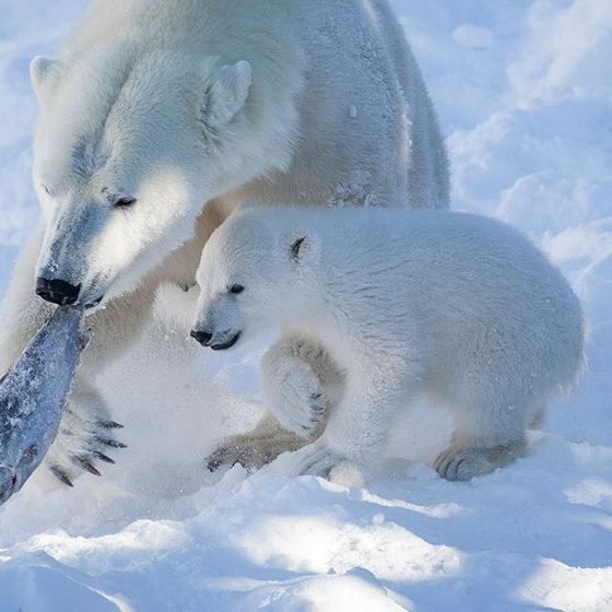 Polar Bear cub Ranzo playing with parent in Ranua Zoo, Lapland, Finland