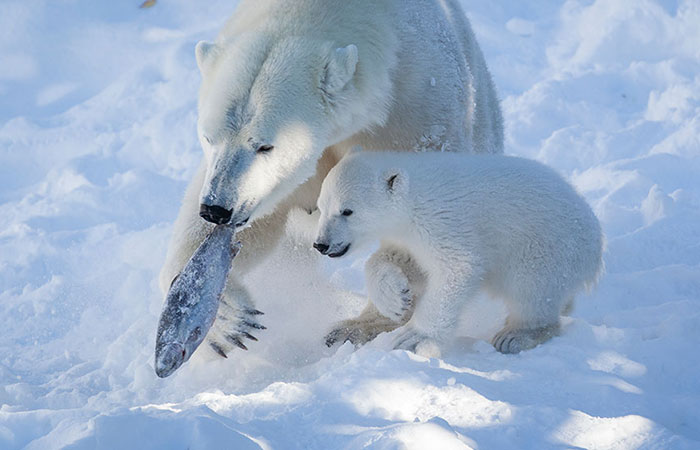 Polar bears feeding on fish in Ranua Zoo, Lapland, Finland